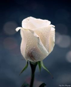 A white rose I place, on bended-knee at the ever most treasured and lovely feet of Angelia–now, forever and always Love Rose, Love Flowers, She Was Beautiful, Beautiful Roses, White Roses, White Flowers, Rose Of Sharon, Coming Up Roses, Single Rose
