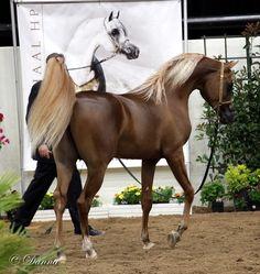 Breeders Cup - Arabian Horse