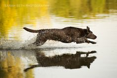 brown dog jumping in water, by Sarah Beth Photography