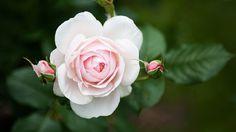 Zartrosane Rose | Rosen . Garten . roses . garden | Rheinland . Eifel . Koblenz . Gut Nettehammer |