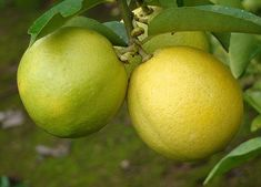 Quais os benefícios da lima da pérsia. A lima da pérsia é um fruto originário da Ásia, não tão conhecido entre nós. Apresenta-se como uma fruta cítrica de baixa acidez, com uma cor amarela pálida e um tamanho entre a laranja e o limão. Com...