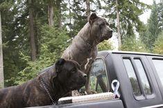 Cane Corso Italian Mastiff, Cane Corso Mastiff, Cane Corso Dog, Big Dogs, Dogs And Puppies, Doggies, Cane Corso Kennel, Black Pitbull, Beautiful Dogs