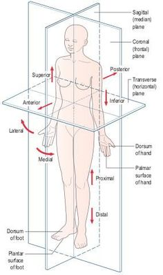 Anatomical position showing the cardinal planes and directional terminology - Anatomical position showing the cardinal planes and directional terminology - Nursing Tips, Nursing Notes, Human Anatomy And Physiology, Medical Coding, Medical Terminology, Midwifery, Medical Information, Nursing Students, Nclex
