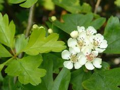 Common hawthorn (Crataegus monogyna) is a deciduous tree native in the UK and across Europe.  It is commonly found growing in hedgerows, w...