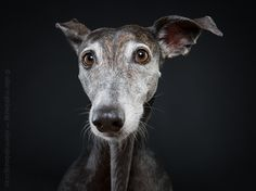 Me muero de amor - Isn't she absolutely gorgeous. I just love Galgos
