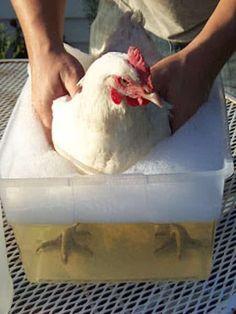 donner bain désinfectant anti poux poules