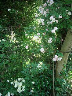 Rambling Rector and Pauls Himalayan Musk roses Musk Rose, David Austin Roses, Perfect Plants, Outdoor Plants, Himalayan, Garden Design, Shells, Flowers, Silver