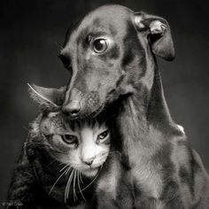 Italian Greyhound and Cat by Paul Croes Greyhound Italiano, Italian Greyhound, Animals And Pets, Funny Animals, Cute Animals, Beautiful Creatures, Animals Beautiful, Amor Animal, Photo Chat