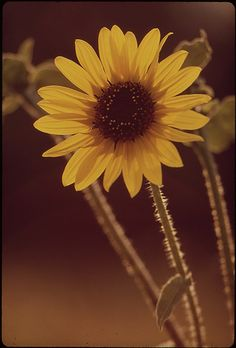 Sunflowers | by The U.S. National Archives Still Picture, Photo Maps, National Archives, Yellow Flowers, Sunflowers, Poster, Sunnies, Sunshine, Plant