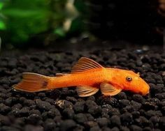 Orange-Bristlenose-Catfish-Tropical-Fish-Community-Fish