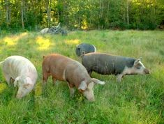 "Article ""Pigs Suffer On Small Farms, Too"" click on link to read."