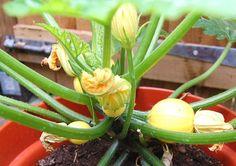 grow Pumpkin in container