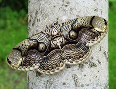 Brahmaea-hearsey (Moth)