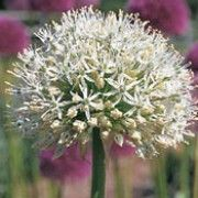 'Mount Everest' has strap-shaped, grey-green leaves and large, globular clusters of starry white flowers. Allium 'Mount Everest' added by Shoot)