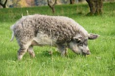 Descended from the wild boar, Mangalitsa is a rare breed of domestic pig. Their fat bodies wrapped in tight curls. Wooly Pig, Sheep Pig, Mangalitsa Pig, Farm Animals, Cute Animals, Flying Pig, Animal 2, Cute Little Things, Weird Pictures
