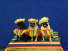 Pugs celebrating Cinco de Mayo ;)