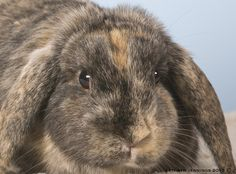Lop Ear Calico Bunny www.signaturepawspetportraiture.com