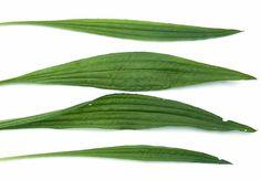 Skorocel: Naša letná superbylina Healing Herbs, Medicinal Herbs, Nordic Interior, Korn, Herb Garden, Nasa, Nature, Plant Leaves, Medicine