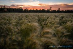 Foxtails blow in the wind at sunset near Lost Tank along Passage of the Arizona Trail near Flagstaff, Arizona. Flagstaff Arizona, New Work, Landscape Photography, Trail, Lost, Sunset, Outdoor, Image, Arizona
