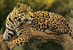 Onça Pintada, or Painted Leopard.
