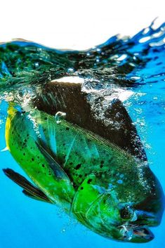What saltwater dreams are made of. : Soolyman Sportfishing What saltwater dream Usa Fishing, Deep Sea Fishing, Sport Fishing, Fishing Tips, Salt Water Fish, Salt And Water, Offshore Fishing, Fishing Supplies, Fishing Humor