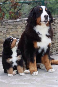 Newest Totally Free bernese mountain dogs pets Popular : The Bernese Huge batch Pet is usually a well-known huge canine breed. This is among the some varieties that range from Sennenhund-type dogs with the E. Cute Baby Animals, Animals And Pets, Funny Animals, Funny Cats, Cute Puppies, Cute Dogs, Dogs And Puppies, Doggies, Corgi Puppies