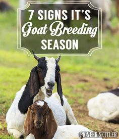 7 Signs It's Goat Breeding Season Goats and Sheep Tips and Ideas Pioneer Settler Raising Sheep, Choosing Sheep Breeds and Sheep Farming Tips Breeding Goats, Animal Breeding, Raising Goats, Raising Rabbits, Goat Care, Nigerian Dwarf Goats, Sheep Breeds, Goat Farming, Baby Goats