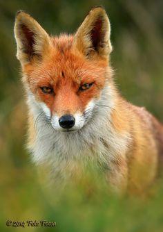 "beautiful-wildlife: "" I've got my eyes on you by Foto Foosa "" Fantastic Fox, Fabulous Fox, Animals And Pets, Baby Animals, Cute Animals, Wild Animals, Beautiful Creatures, Animals Beautiful, Wolf Hybrid"