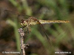 Common Darter Dragonfly (Sympetrum striolatum) by © Pavel Krasensky