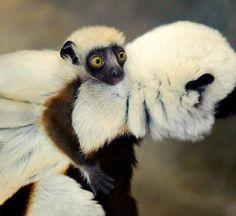 A baby Coquerel's Sifaka (pronounced Cahk-ker-rells she-fahk), an endangered lemur species from Madagascar, was born at the St. Louis Zoo's Primate House on January 16.