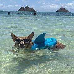 Corgi shark #cutecorgi