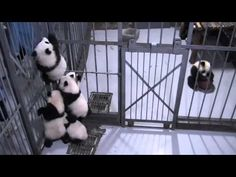 Panda cubs trying to climb up - YouTube