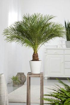 피닉스야자 pygmy date palm