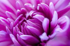 Up-Close Flower Power Pink Mum Photographed by Michael P. Moriarty Prints available click the photo.