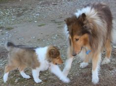 Cotie teaching Izzy not to bite! Rough Collie, Collie Dog, Smooth Collie, Dog Expressions, Shetland Sheepdog Puppies, Puppy Biting, Fluffy Puppies, The Perfect Dog, Herding Dogs