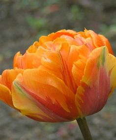 Tulip 'Orange Princess'...need to remember to plant this one in the fall.