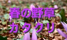 【富山散策物語】 春の野草 「カタクリ」  富山市大沢野