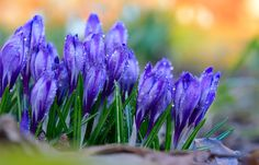 Crocus flowers – Field of blooming crocus flowers after a rainy day.