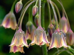 ❥ Allium siculum...lovely, but they do have that onion smell when you cut them FYI...Just sayin-Molly