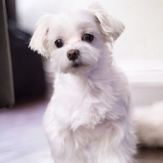 Thinking puppy.... #arodwang #maltese