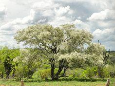 Jurema branca - Pithecellobium diversifolium Benth   por Dilson Santos