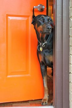 Harley Davidson the Doberman Pinscher Puppy Dogs Likes the Orange Front Door