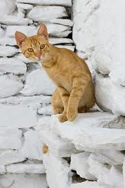 greek island cat - orange tabby