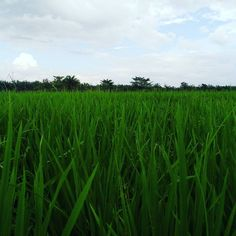 at Desa Penggalangan Galery Photo, Herbs, Life, Herb, Medicinal Plants