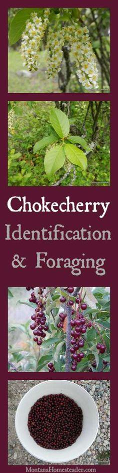 Chokecherry Identification & Foraging wild edibles and how to use chokecherries | Montana Homesteader