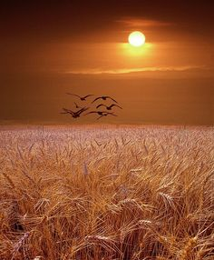 Seagulls fly over a golden wheat field at sunset in Michigan bird landscape color Fine Art Landscape Photography - Gulls flying over a Wheat Field at Sunset in Michigan – A Bird Landscape Photograph - Fields Of Gold, Landscape Photography, Nature Photography, Photography Tips, Scenic Photography, Aerial Photography, Night Photography, Portrait Photography, Wedding Photography