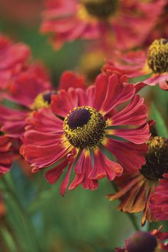 Helenium – Small daisy like flower, with slightly backward facing petals and autumnal colours