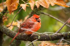 Northern Cardinal in Autumn, Hendrie Valley, Burlington, Ontario