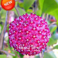 Hoya Seeds Potted Flowers Bonsai plants Hoya Seed, Orchid Seed DIY Home Garden 100 Particles/Pack Hydrangea Seeds, Orchid Seeds, Flower Seeds, Flower Pots, Potted Flowers, Hoya Plants, Orchid Plants, Orchids, Garden Seeds