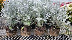70 mm Dusty Miller Silverdust   Ebay seller: sohappy64 # Bountiful Plants Dusty Miller, Live Plants, Ebay
